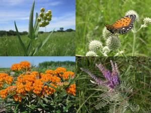 Rare prairie plants